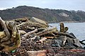 Driftwood - geograph.org.uk - 326515.jpg