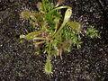 Drosera intermedia (2).jpg