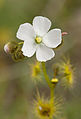 Drosera peltata, Tom Gibson Nature Reserve, Tasmania, Australia - 20101011.jpg