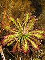 Drosera ultramafica robinson fleischmann mcpherson.jpg