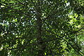 Drypetes longifolia-2.JPG