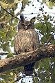 Dusky eagle owl Bubo coromandus (2154437883).jpg