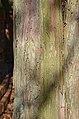 Dwarf Hinoki Falsecypress Chamaecyparis obtusa 'Nana' (41-192-A) Trunk Bark.JPG