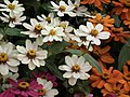 Dwarf Zinnia from Lalbagh flower show Aug 2013 8246.JPG