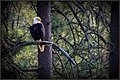 Eagle in the woods.jpeg
