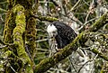 """Eagle with salmon eating quietly in the forest. - Flickr - island deborah- New Book """"Song of the Sparrow"""" vig.jpg"""