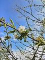 Early Cherry Blossom.jpg