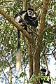 Eastern black-and-white colobus (Colobus guereza occidentalis).jpg