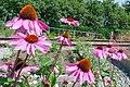 Echinacea in the Railway Garden (6044489276).jpg