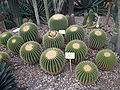 Echinocactus grusonii Magdeburg.JPG