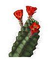 Echinocereus coccineus pm.jpg