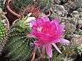 Echinopsis (3743692021).jpg