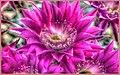 Echinopsis Hybrid Antimatter (150386391).jpeg
