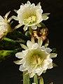 Echinopsis pachanoi.jpg