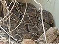 Echis pyramidum.jpg