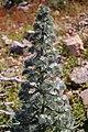 Echium italicum 0007.JPG