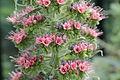 Echium wildpretii-IMG 6310.jpg