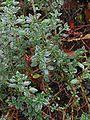 Echte gamander plant Teucrium chamaedrys subsp. germanicum.jpg
