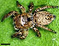 Edwards Habronattus brunneus 02.jpg