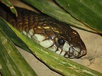 Egyptian Cobra 005.jpg