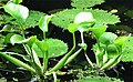 Eichhornia crassipes-Cenote.jpg