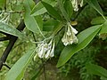 Elaeagnus multiflora 2016-05-17 0211.jpg