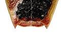Elasmostethus interstinctus f genitals.jpg