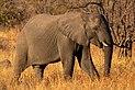 Elefante africano de sabana (Loxodonta africana), parque nacional Kruger, Sudáfrica, 2018-07-25, DD 07.jpg