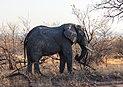 Elefante africano de sabana (Loxodonta africana), parque nacional Kruger, Sudáfrica, 2018-07-26, DD 04.jpg
