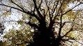 File:Elephant Jolap Tree (হাতির জোলাপ গাছ).webm