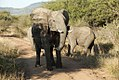 Elephant on the road, North West Province (6252680797).jpg