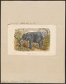 Elephas africanus - 1700-1880 - Print - Iconographia Zoologica - Special Collections University of Amsterdam - UBA01 IZ22000080.tif