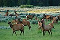 Elk herd, cows leg-kicking in background (3719134894).jpg