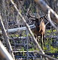 Elk in the Woods (14839363621).jpg