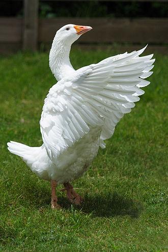 Emden goose - An Emden goose at the Birmingham Zoo