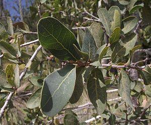 Quercus engelmannii - Image: Engelmannoak