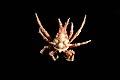 Epialtidae (MNHN-IU-2013-1681).jpeg