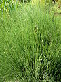 Equisetum scirpoides kz1.JPG