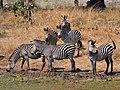 Equus quagga boehmi (drinking).jpg