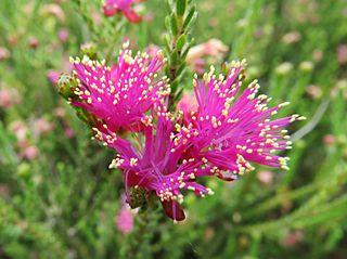 <i>Eremaea fimbriata</i> species of plant
