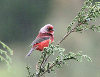 Pink-headed warbler - Image: Ergaticus versicolor