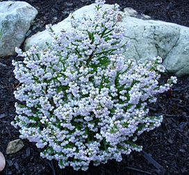 Erica capensis bush.JPG