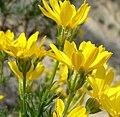 Ericameria linearifolia 7.jpg