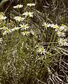 Erigeron rhizomatus lg.jpg