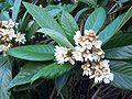 Eriobotrya japonica flowers.jpg