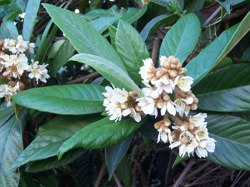 fleurs du néflier du japon
