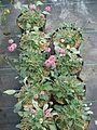 Eriogonum grande rubescens (9590091277).jpg