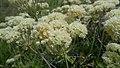 Eriogonum heracleoides var. leucophaeum 1.jpg