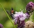 Eriothrix rufomaculata Tachinidae (39085106794).jpg