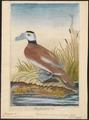 Erismatura leucocephala - 1772 - Print - Iconographia Zoologica - Special Collections University of Amsterdam - UBA01 IZ17700163.tif